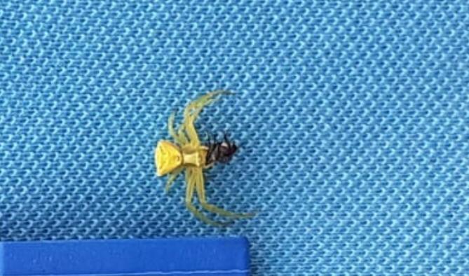 İnsan yüzlü örümcek Seferihisar'da görüldü